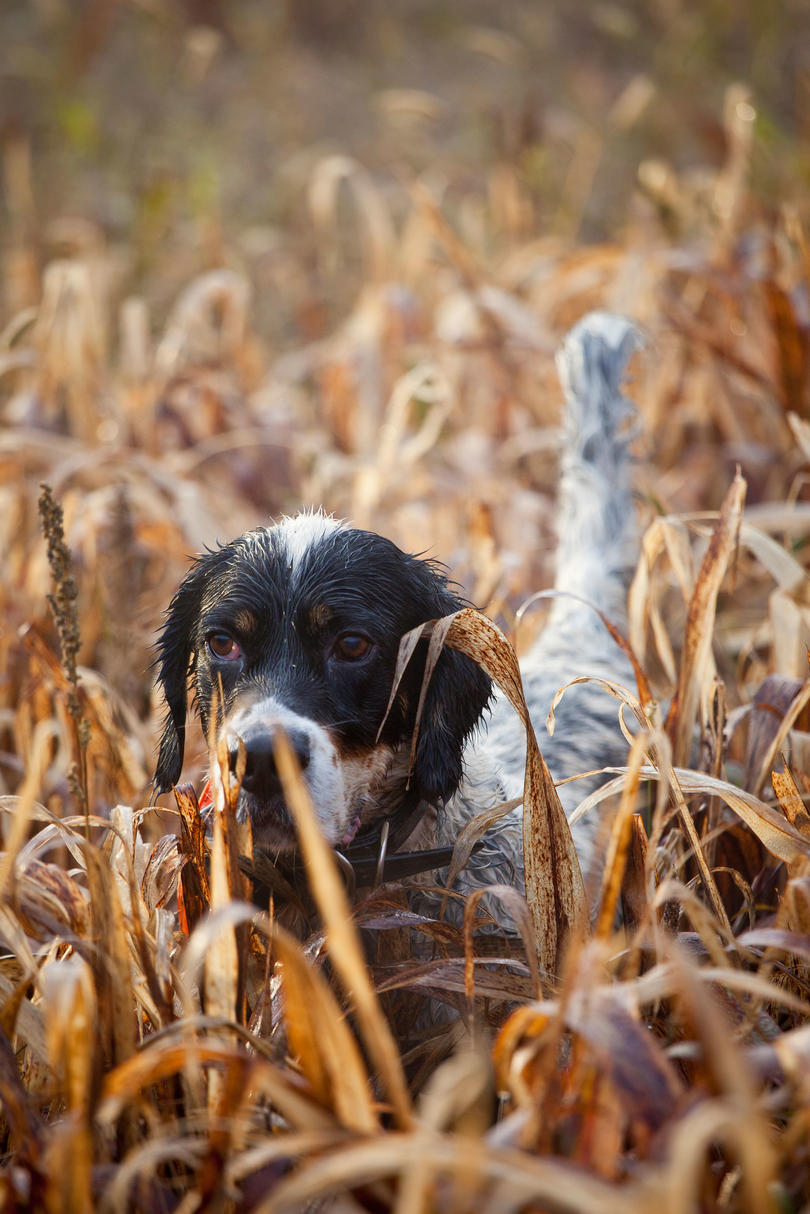 English pointer hunting dog in field