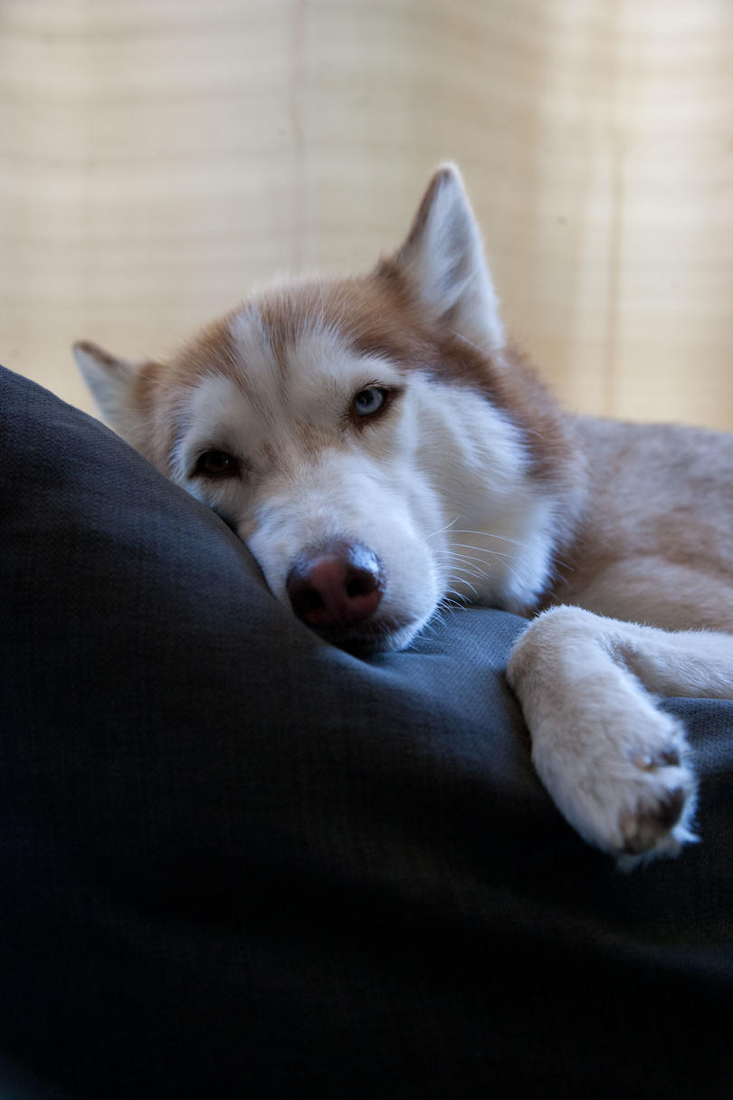 Husky laying down on couch
