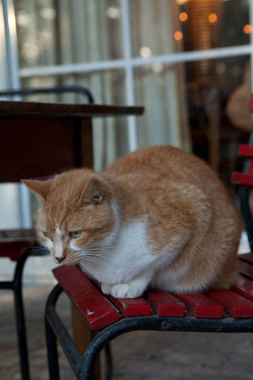 Orange and White Cat in Chair