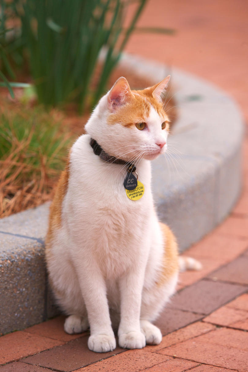 Orange and White Cat Outside