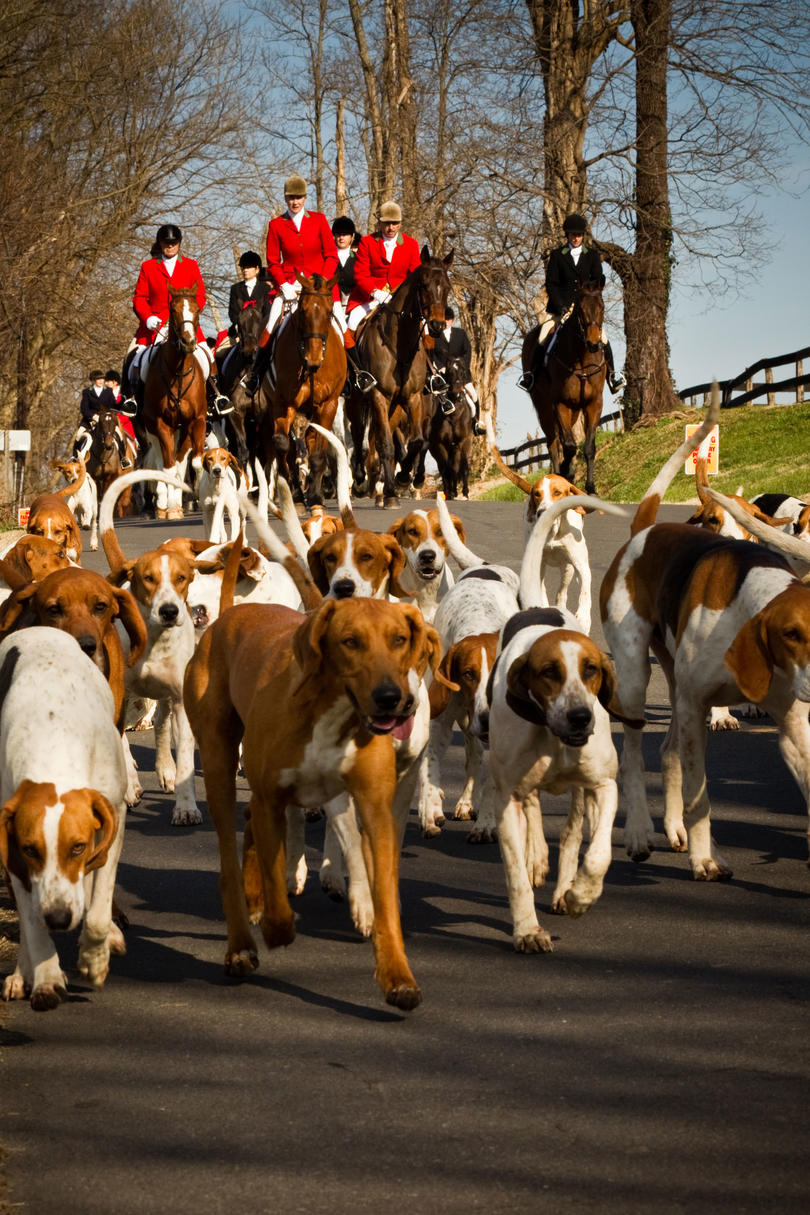 Middleburg Hunt Christmas Parade hunting dogs