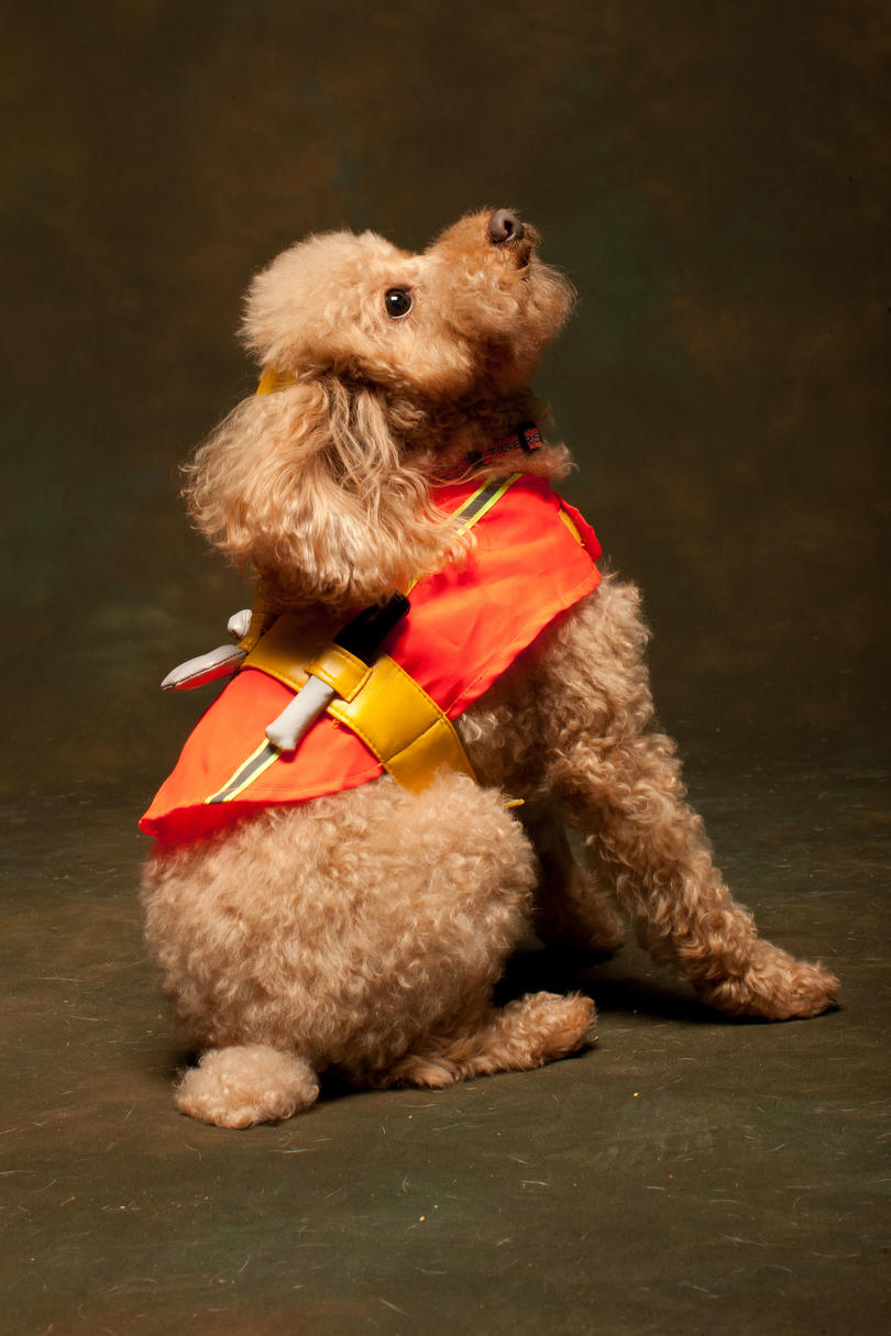 poodle in halloween costume
