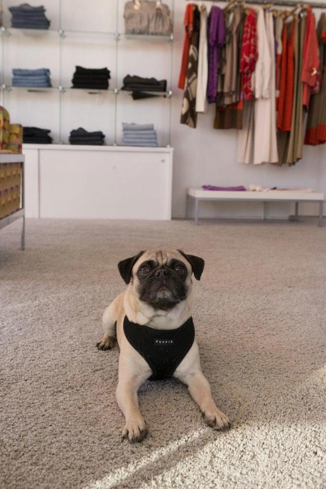 Pug in store