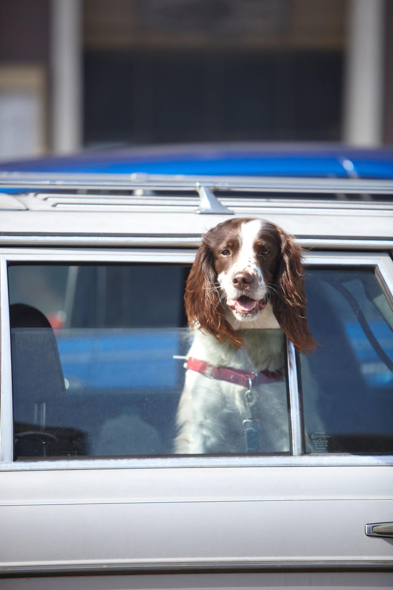 Brown and white dog holding head out of window of parked automobile.