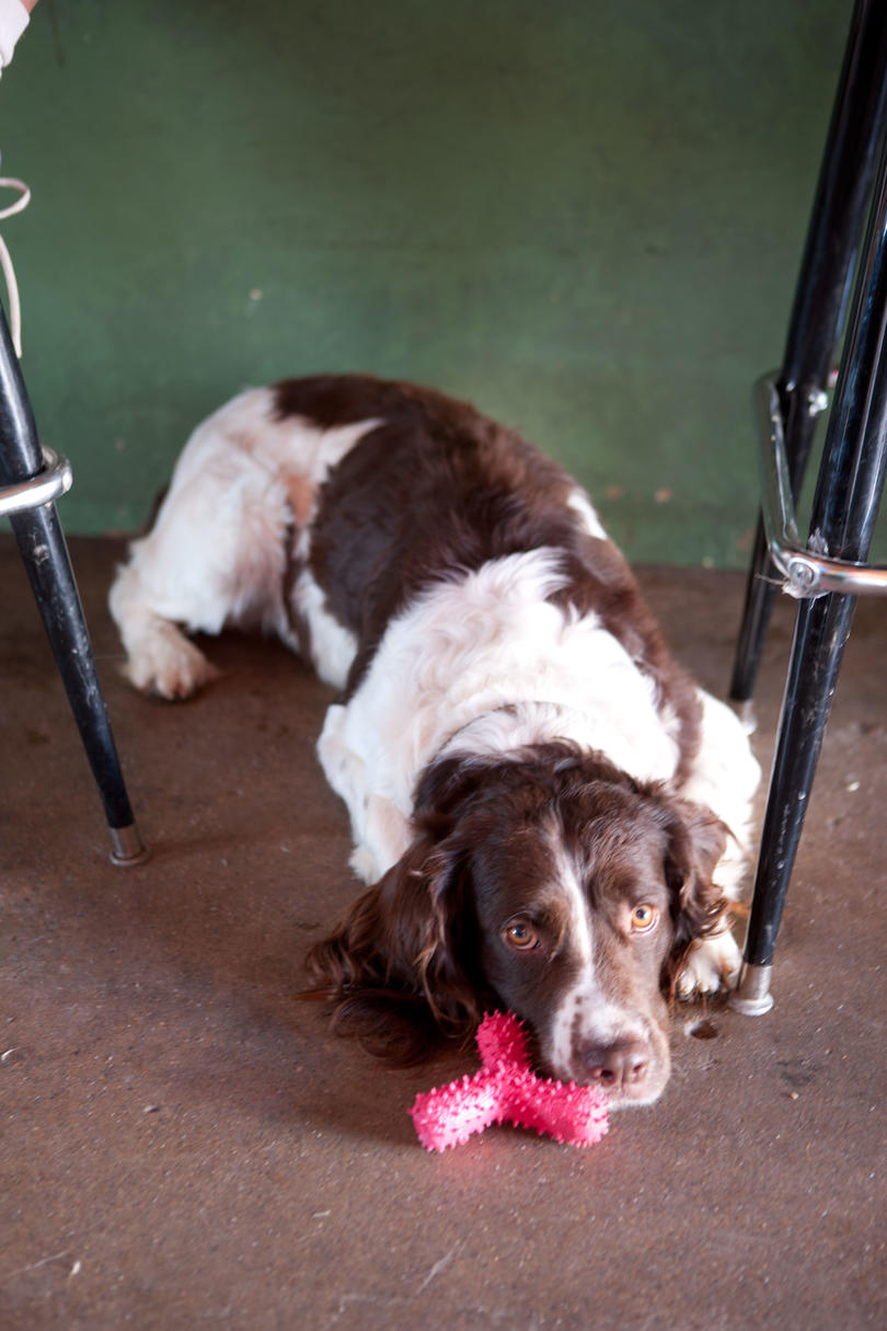 spaniel with toy at bar