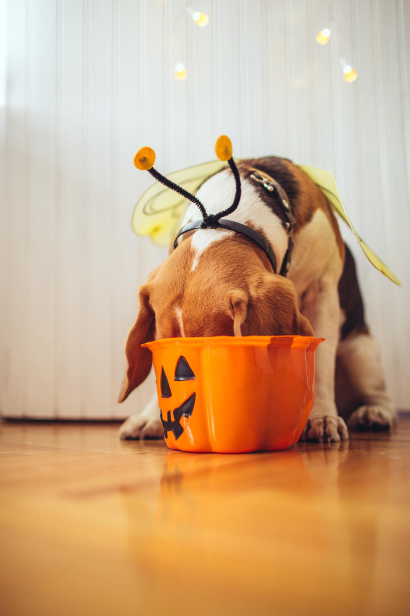 Puppy with Halloween Bucket