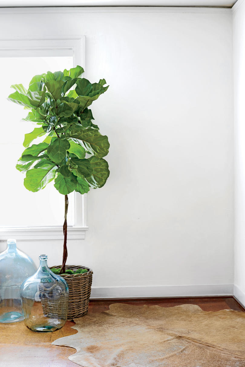 Fiddleleaf Fig in Corner
