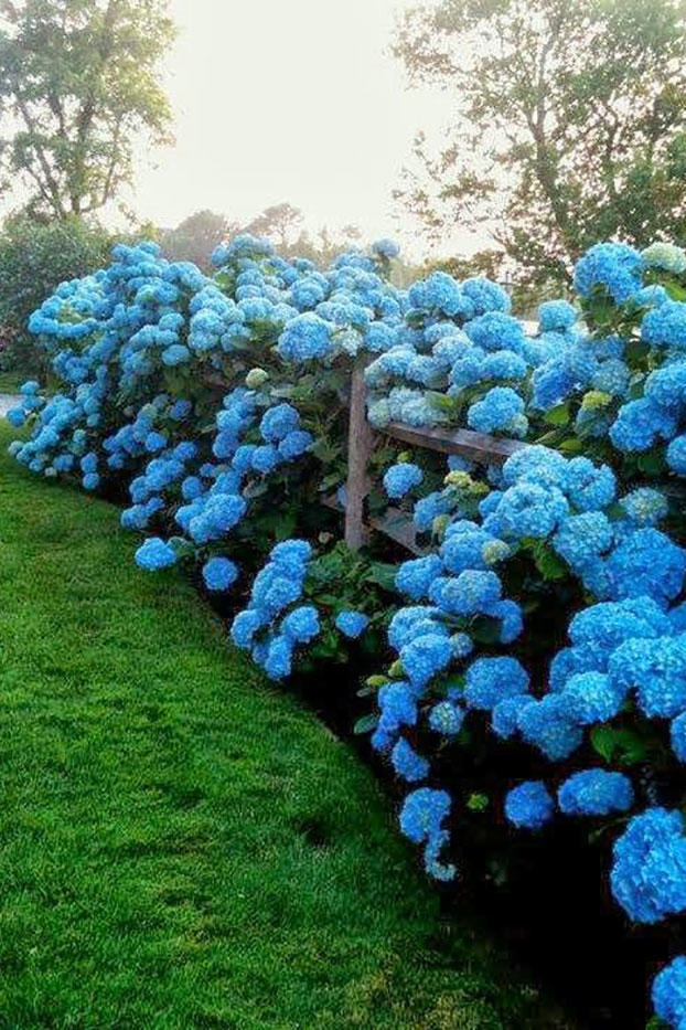 Blue Hydrangeas Overflowing Wood Fence