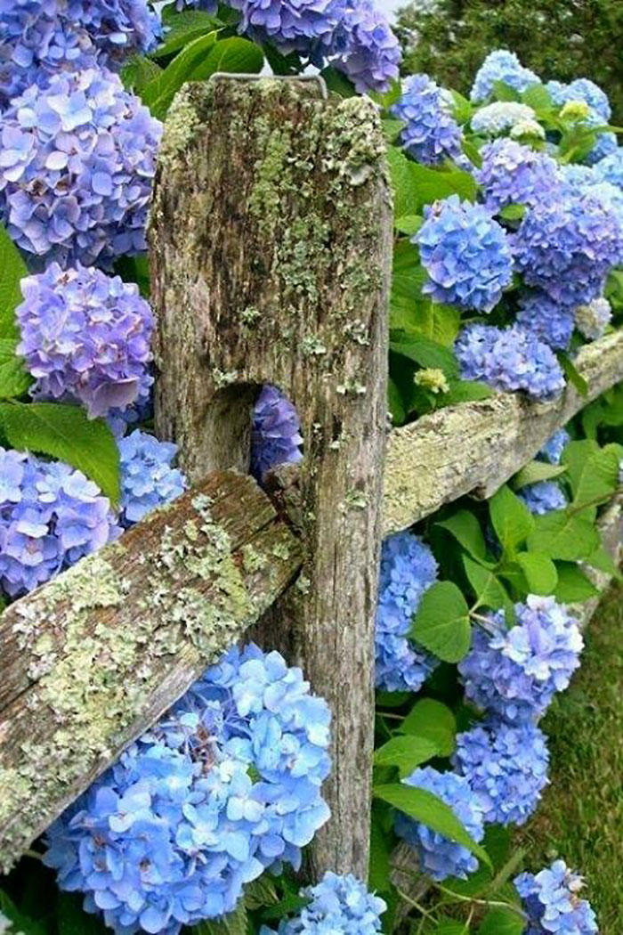 Hydrangeas on Rustic Wood Fence