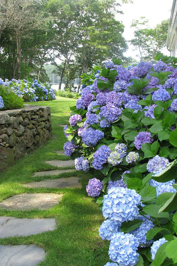 Hydrangeas Next To Stepping Stone