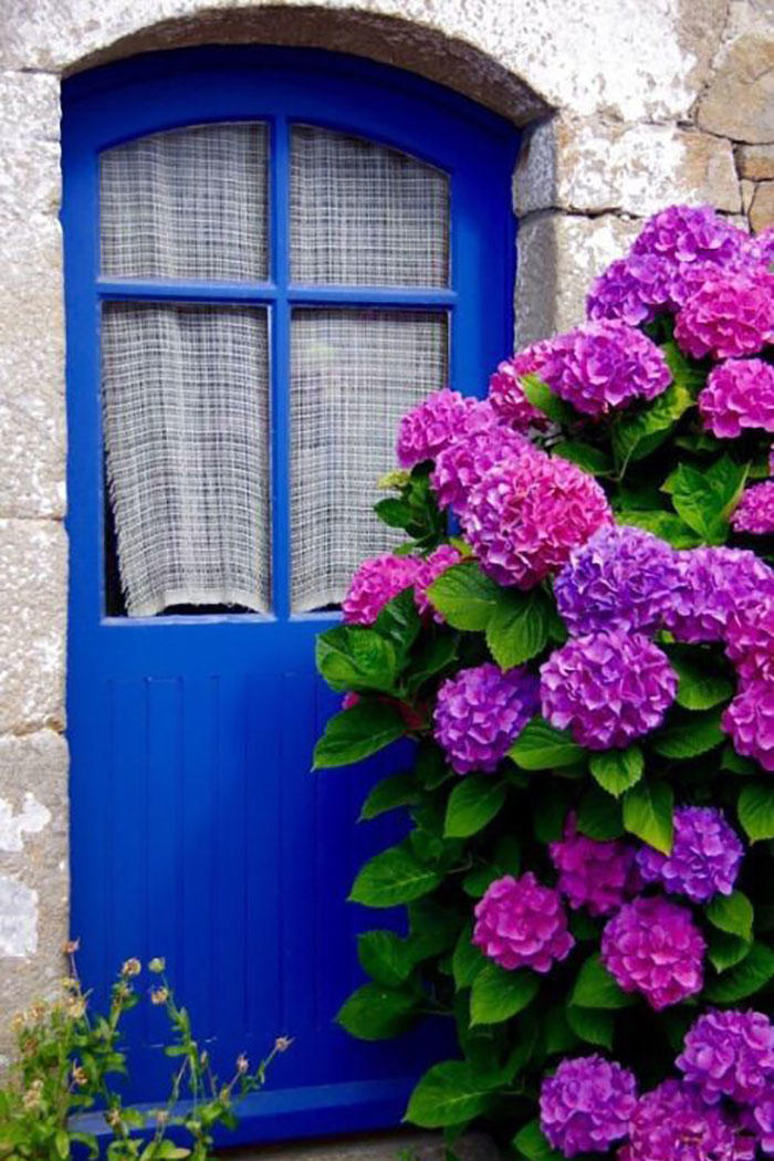 Purple Hydrangeas in Front of Blue Doorway