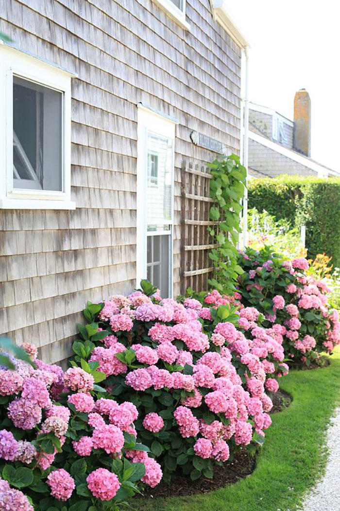 Hydrangeas on Wood Shingle House