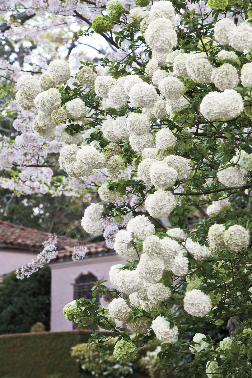 The souths most iconic flowers southern living white blossomed hydrangeas mightylinksfo
