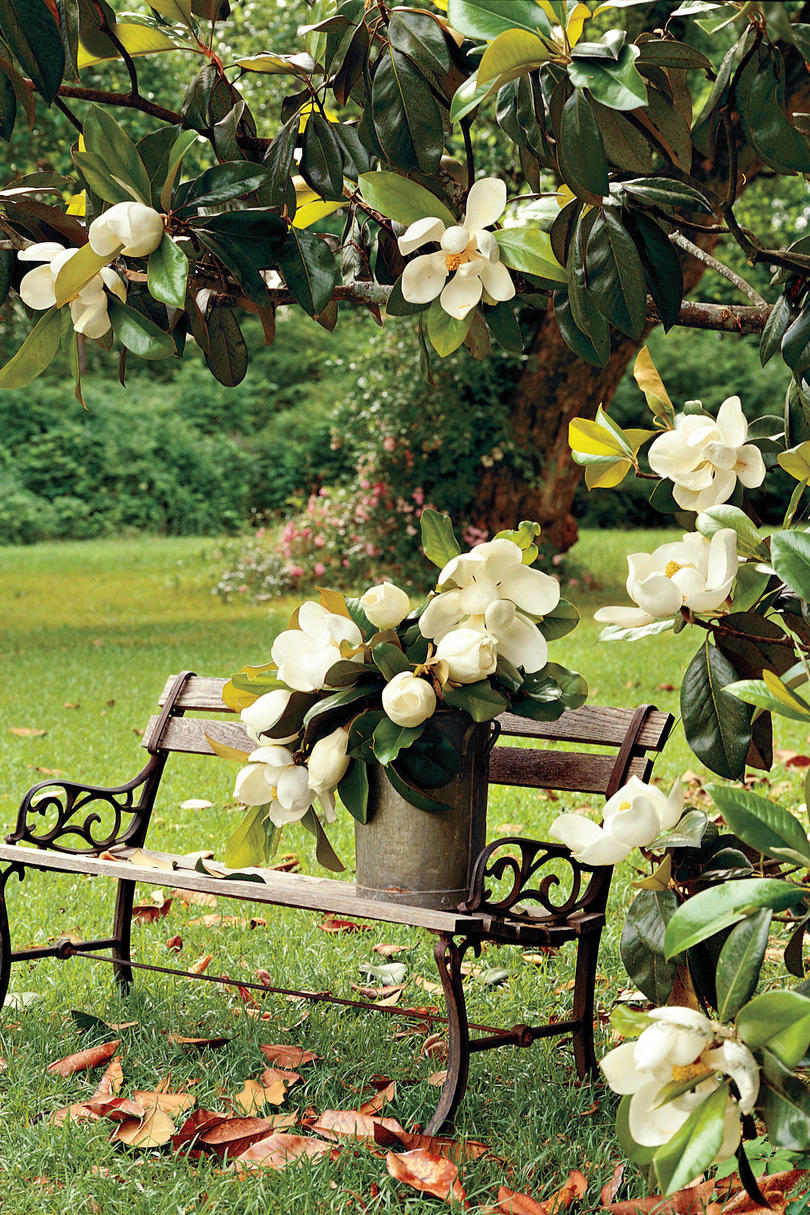 Magnolia Blooming Near Park Bench