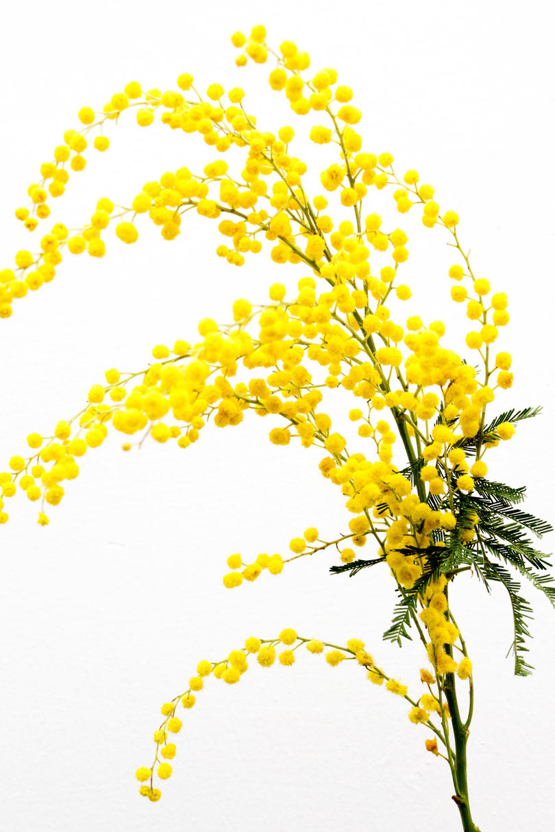 For the Free Spirit: Mimosa