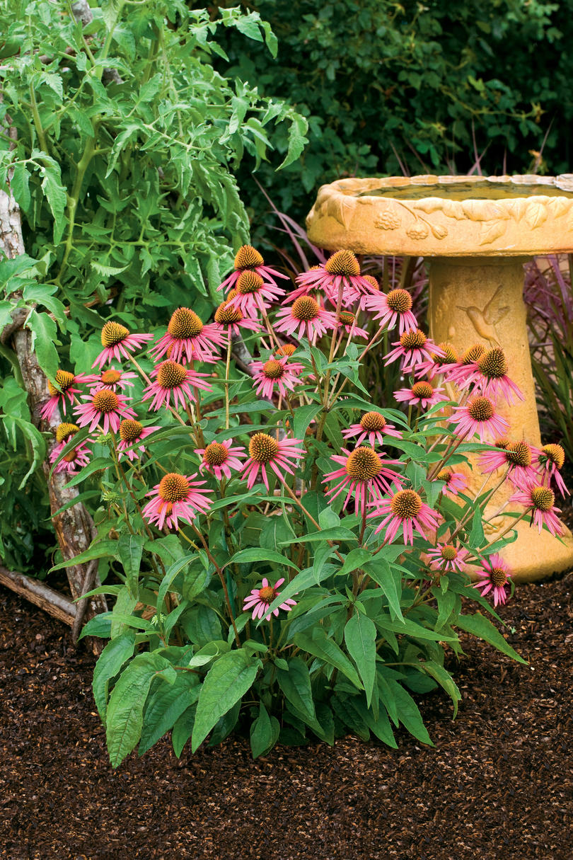 Rose-Pink Coneflowers