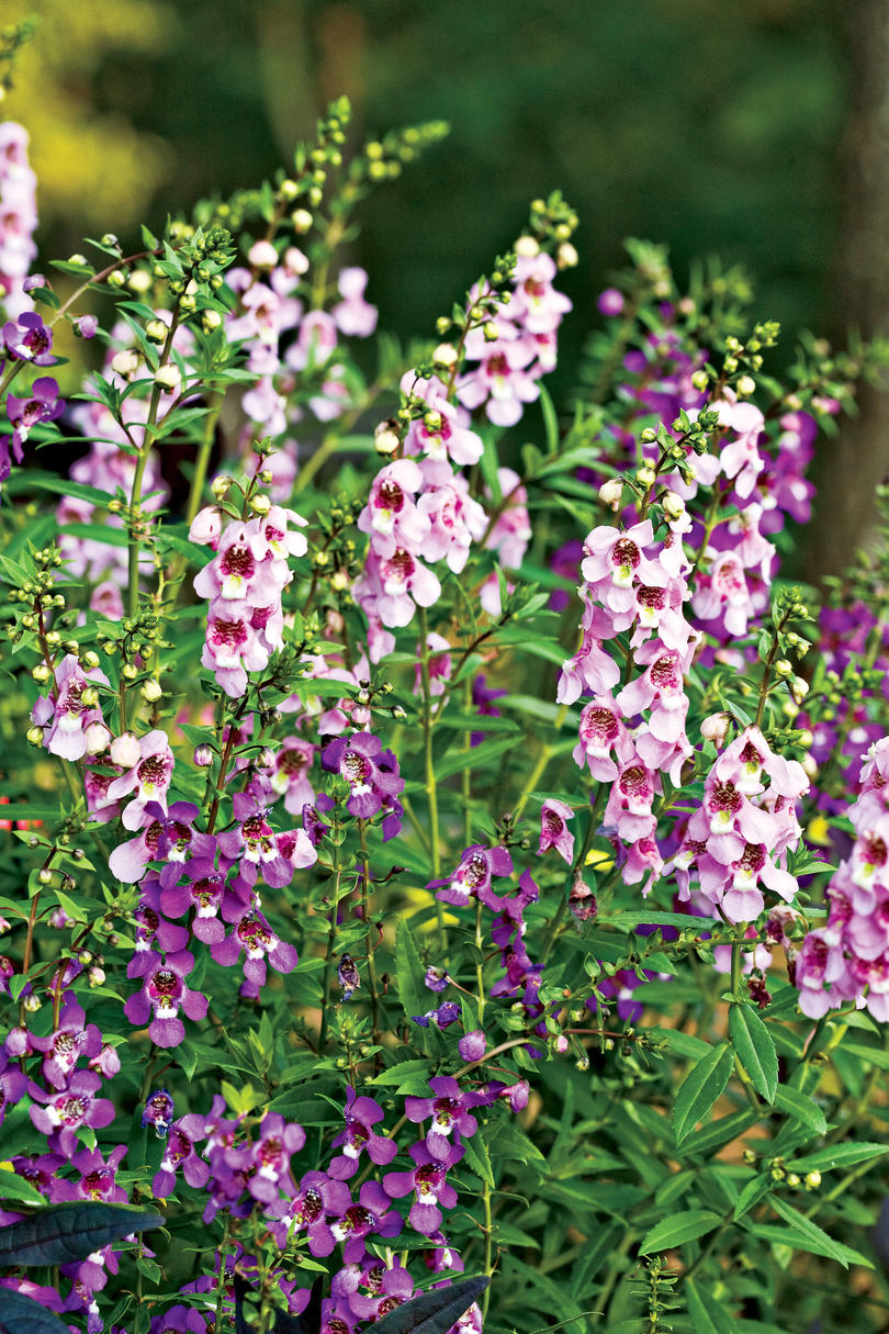 Purple Serena Angelonia