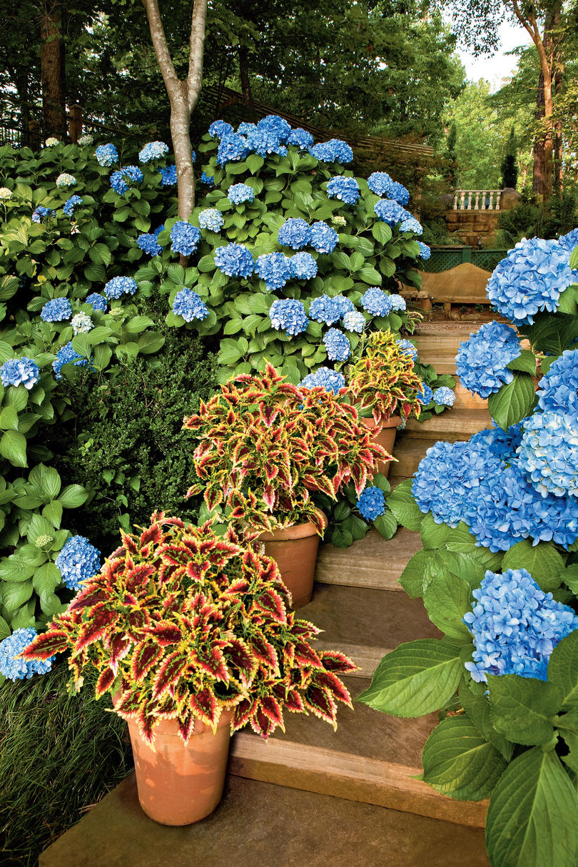 3. In what order do different hydrangeas bloom?