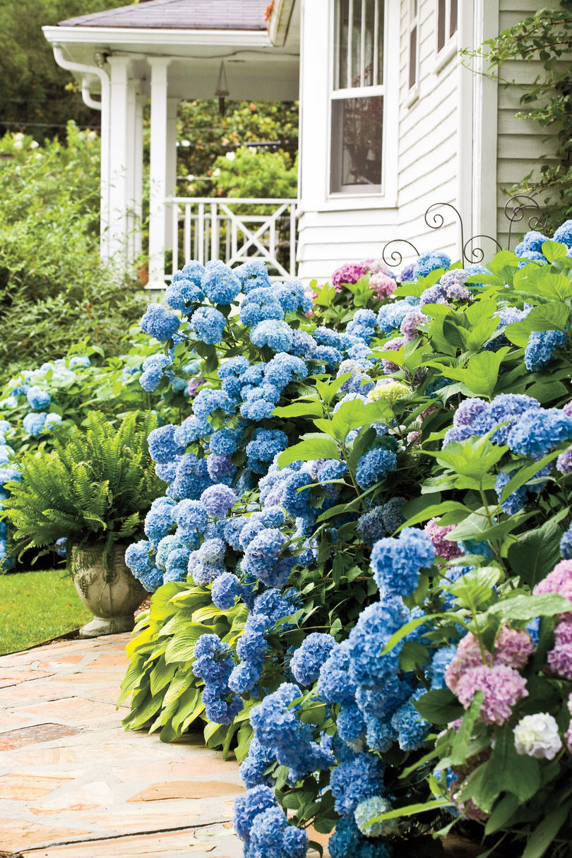 8. How can I control powdery mildew and leaf spot on French hydrangea?