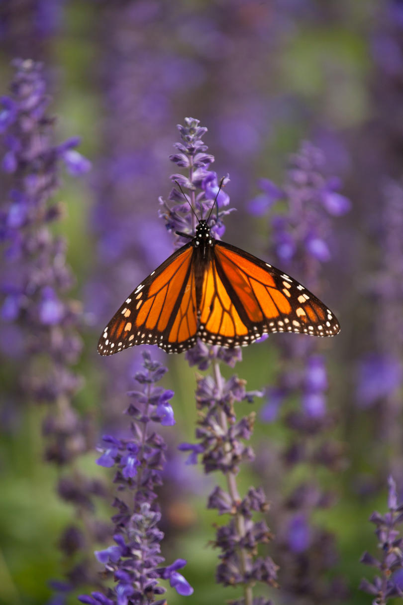 Salvia with Butterfly