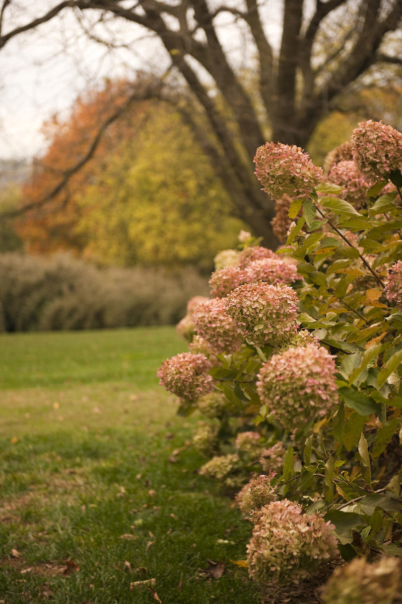 9. Do any hydrangeas have pretty autumn foliage?