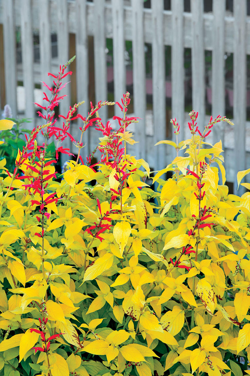 Pineapple Salvia