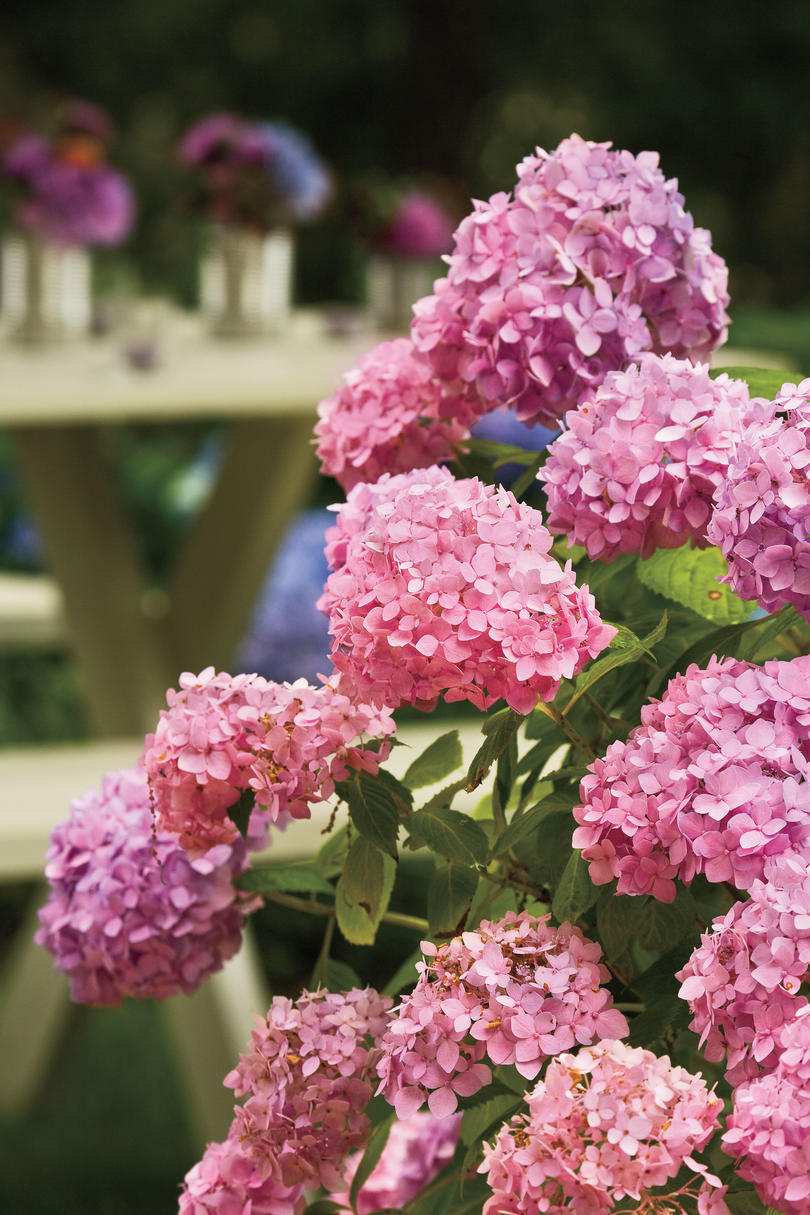 4. How can I change a hydrangea's color?