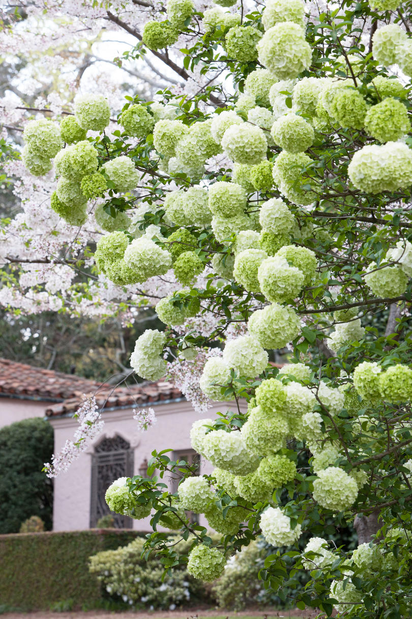 5. Will white French and Mountain hydrangeas change color?