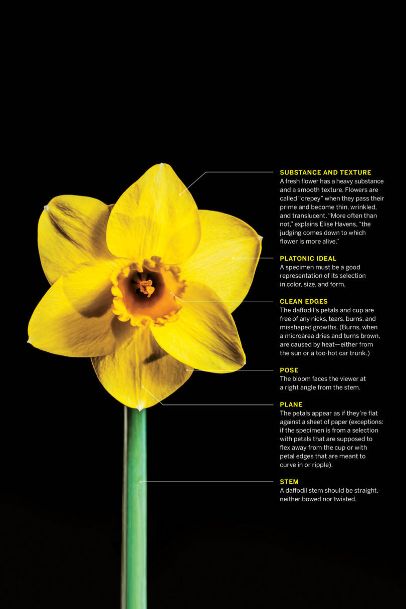 Diagram of a Winning Daffodil from the Garden Center of Virginia Daffodil Show