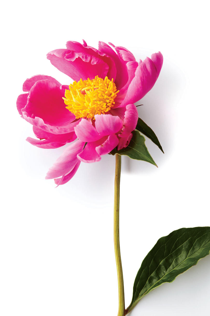 Our Favorite Types Of Peonies Southern Living