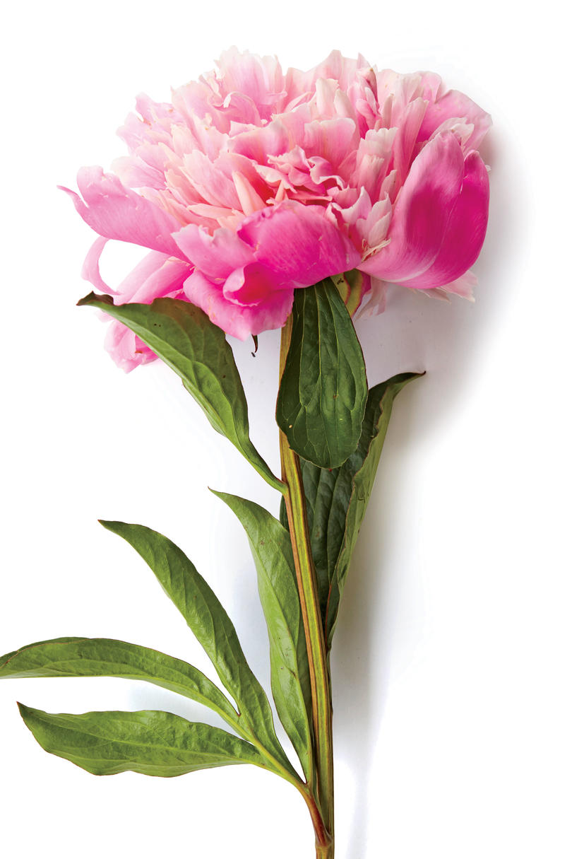 Our Favorite Types of Peonies