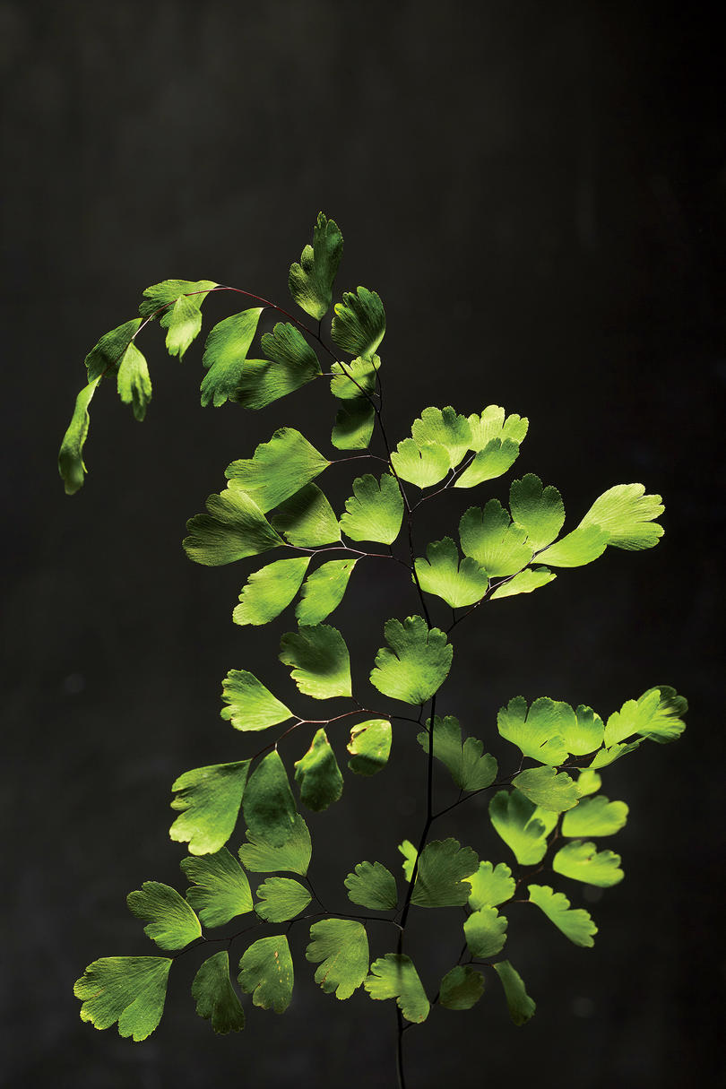 Southern Maidenhair Fern