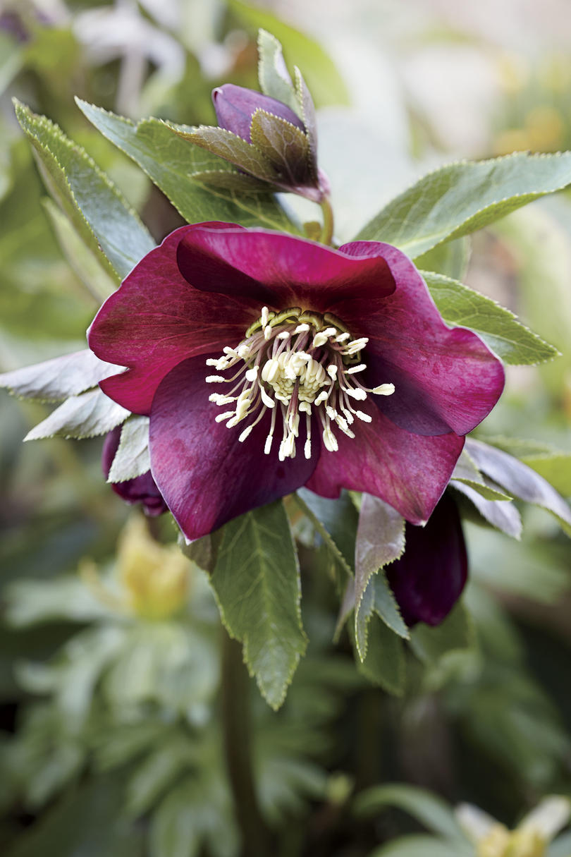 The Glory of Hellebores