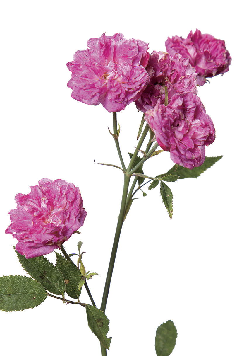 'Highway 290 Pink Buttons' Rose