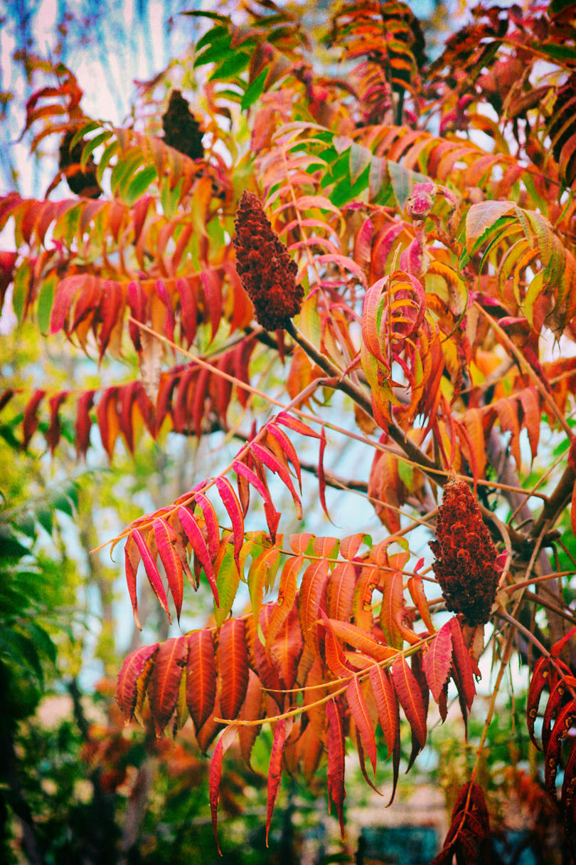 RX_1907_Fall Plants and Flowers_Sumac