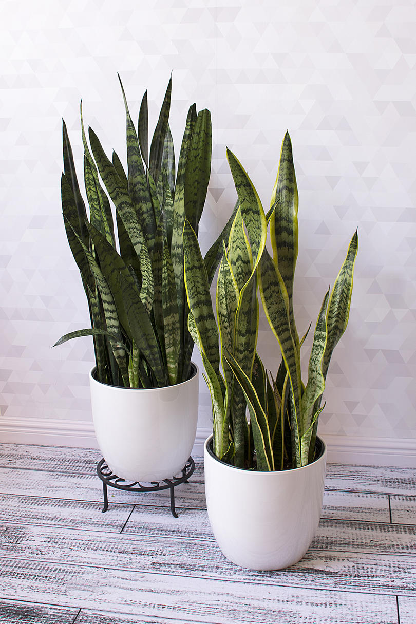 In a Dry Room: Snake Plant