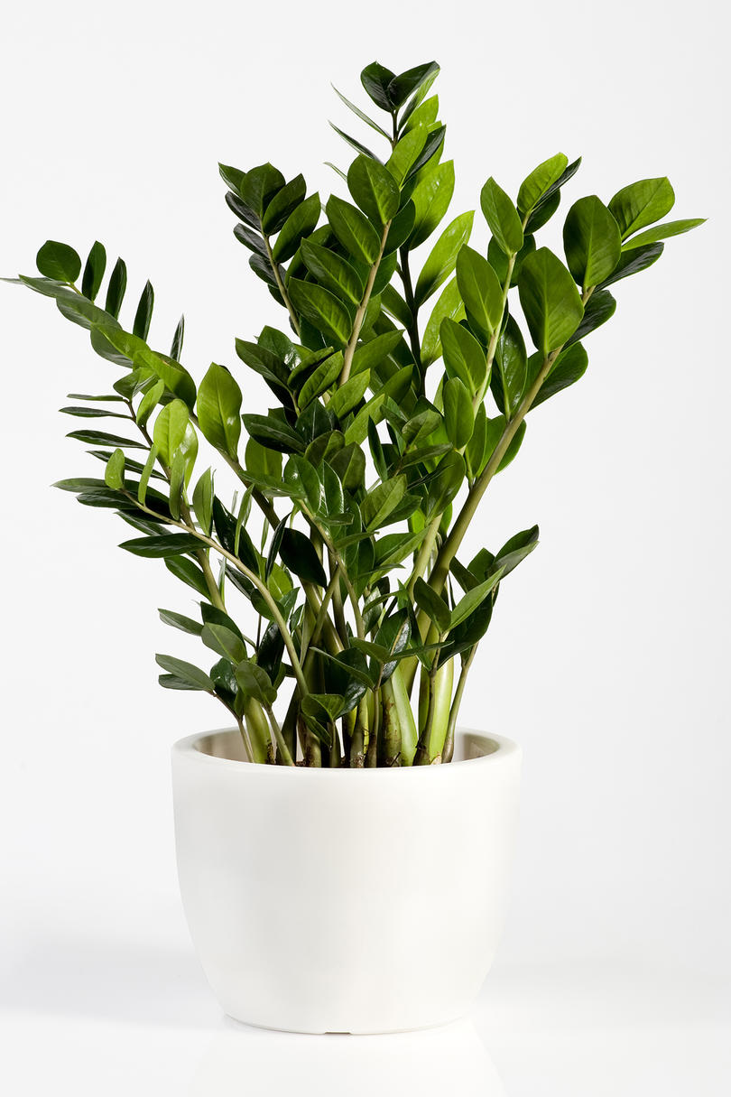 In a Low-Light Room: ZZ Plant