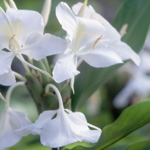 Ellens picks white flowers for every season southern living falls white flowers mightylinksfo Image collections