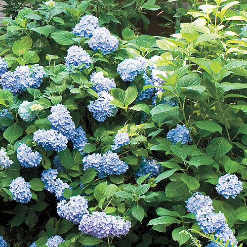 More About Hydrangeas