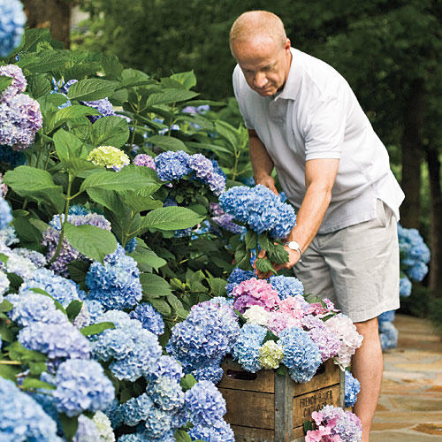 french hydrangea perfect for the south