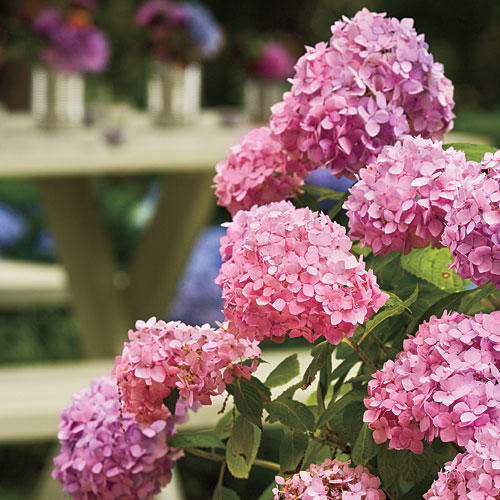 French Hydrangea: Planting Conditions