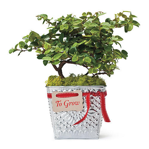 Christmas Holiday Gift Ideas: Emerald Snow Loropetalum in Recycled Aluminum Flower Pot