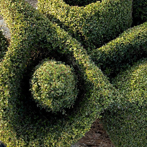 More On Pearl's Topiaries