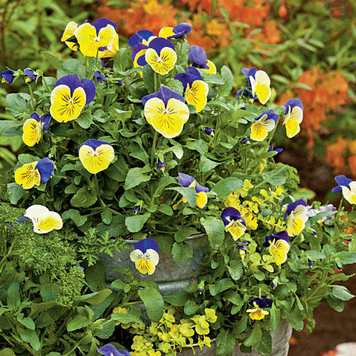 Stacked Violas