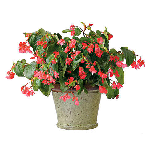 1303 'Dragon Wing Red' Angel Wing Begonia