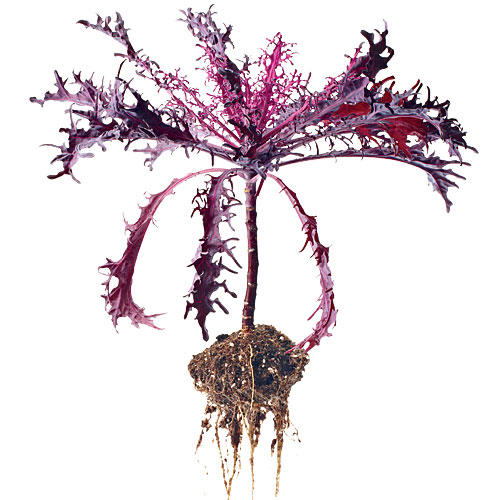 'Peacock Red' Kale