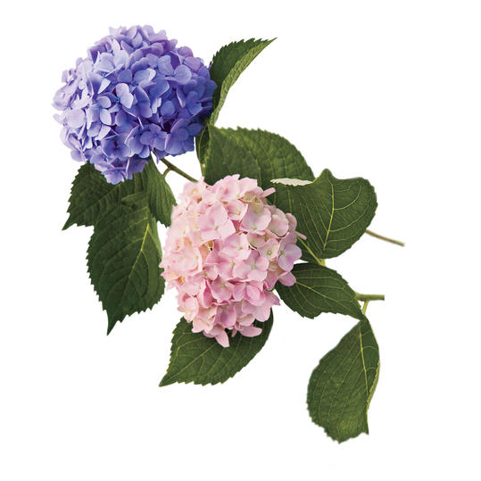 Repeat Blooming Hydrangeas