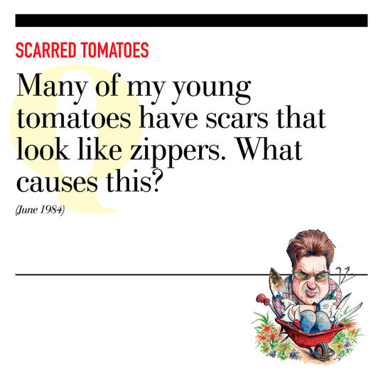 Scarred Tomatoes