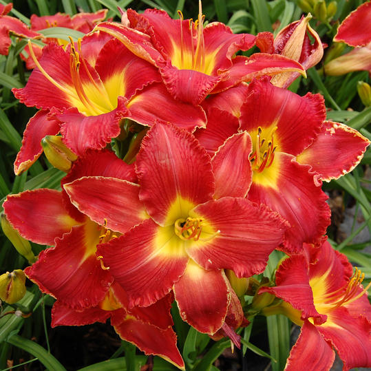 Joy of Living High Voltage Daylily