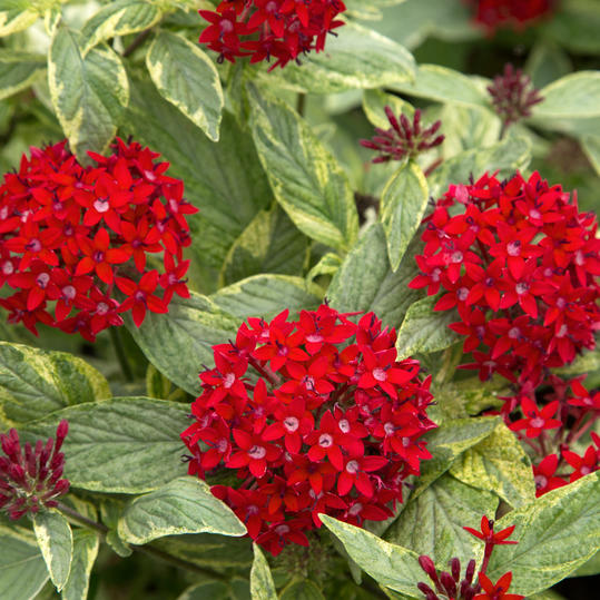 Stars and Stripes Pentas